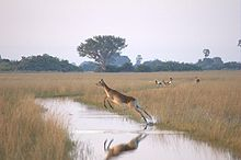 220px-Flying-female-Lechwe.jpg